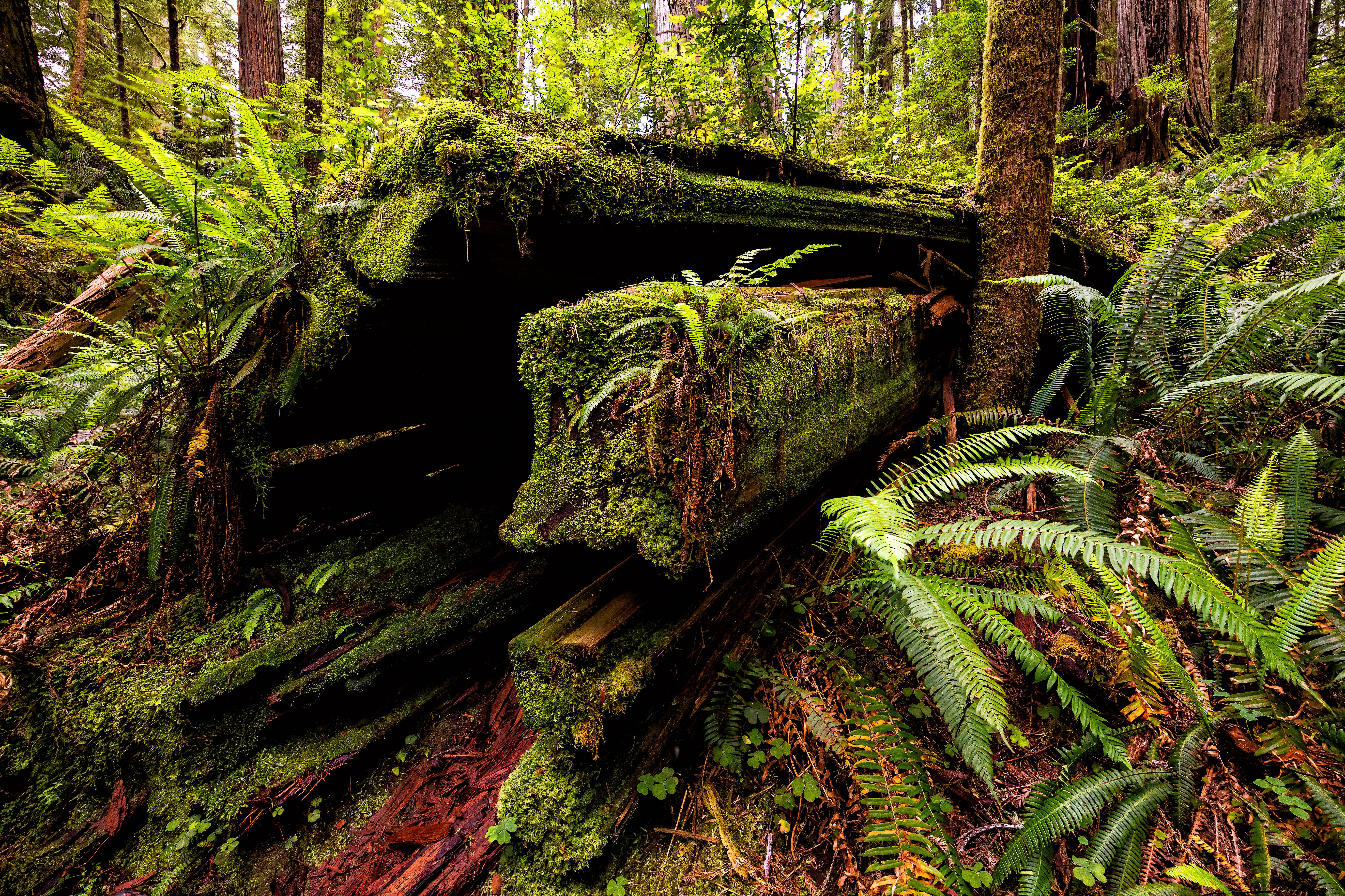 Redwoods moss log LR