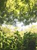 アジサイの木