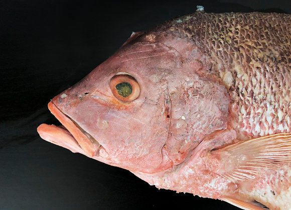 Red Snapper Head Half 500-600g/pc
