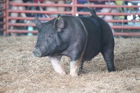 Pig Small.jpg