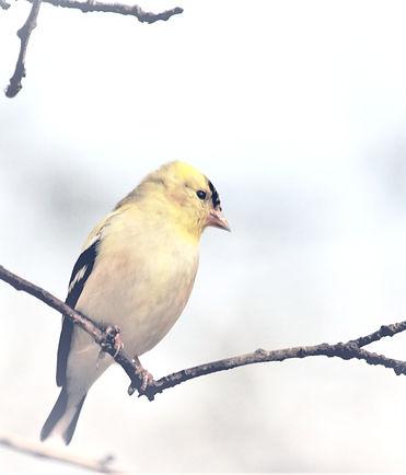 goldfinch-on-branch-in-winter%20(2)_edit
