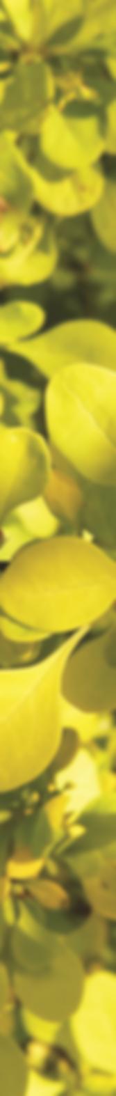 verticial light green leaves mizutek wat