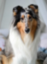 blue merle rough collie