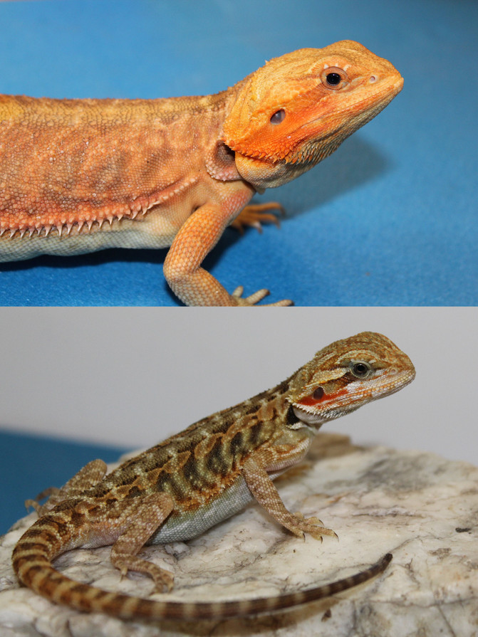 From Cute to Stunning! Bearded Dragons get better with age!