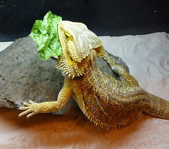 Facts About your Bearded Dragon | kelowna-b-dragons