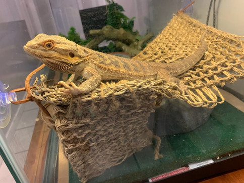 Adult Bearded Dragon in need of a new home