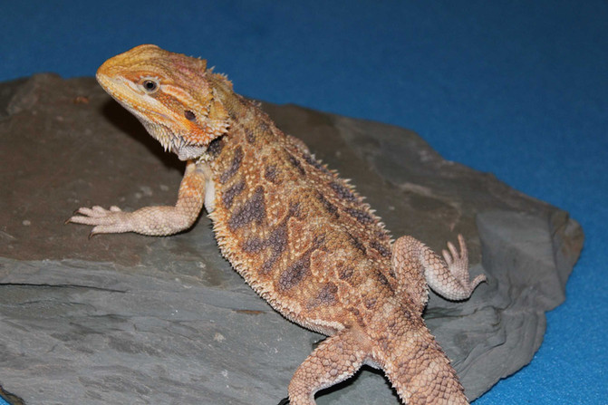 Rescue Bearded Dragons. Free to good homes!