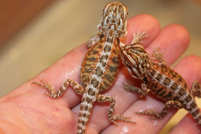 New baby Beardies with new colours!