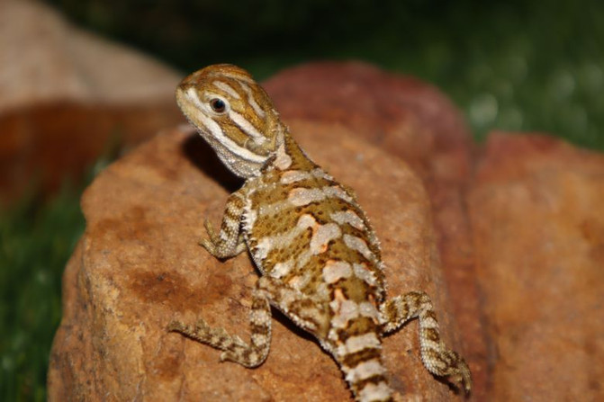 Rankins Dragons now Available!