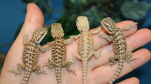 More gorgeous baby Dragons on the way!