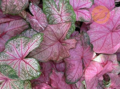 Caladium Fancy Leaf Fannie Munson #1
