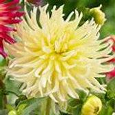 Dahlia-Yellow Star