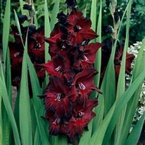 Gladiolus-Black Beauty