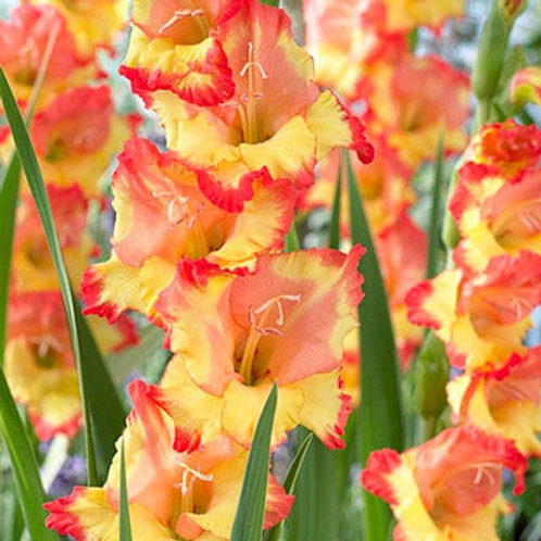 Gladiolus-Princess Margaret Rose