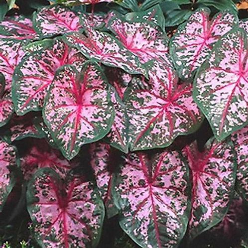 Caladium Fancy Leaf Carolyn Whorton#1