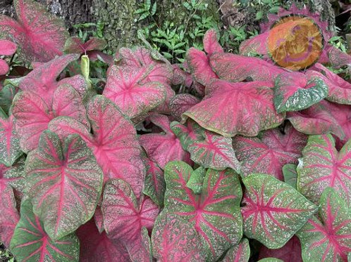 Caladium Fancy Leaf Brandywine
