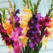 Gladiolus Mardi Gras Mixture