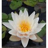 Pre-Grown Water Lily