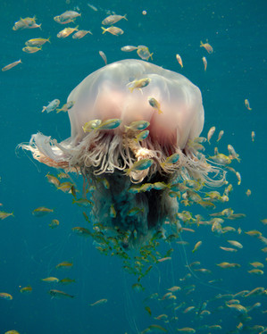 Canva - Large tropical jellyfish hosting