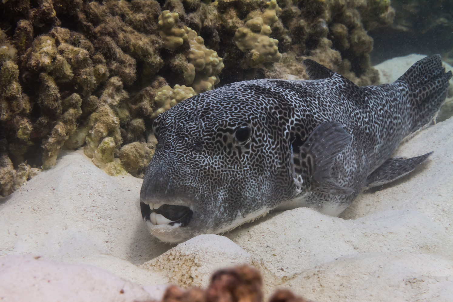 Canva - Star pufferfish at Surin island.