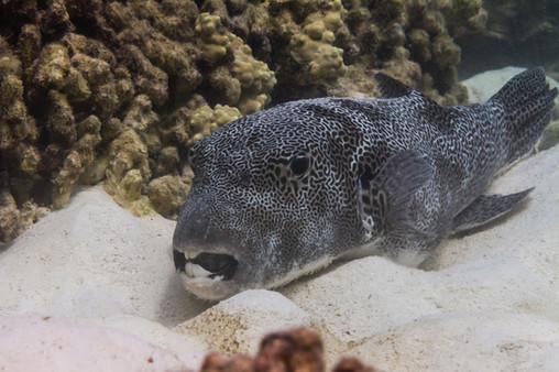 Canva - Star pufferfish at Surin island.