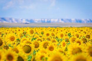 Sunflowers for Print-1.jpg