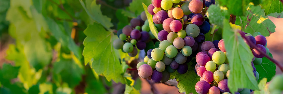Grapes on Vines at Fruit Farm