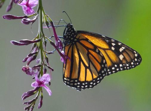 Saving The Monarch