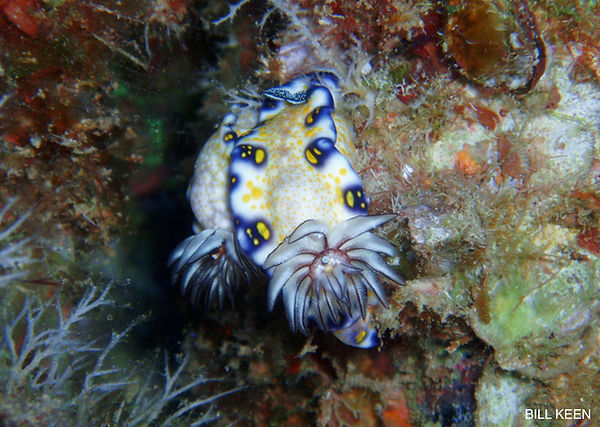imperial nudibranch
