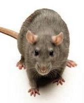 Traitement contre les souris