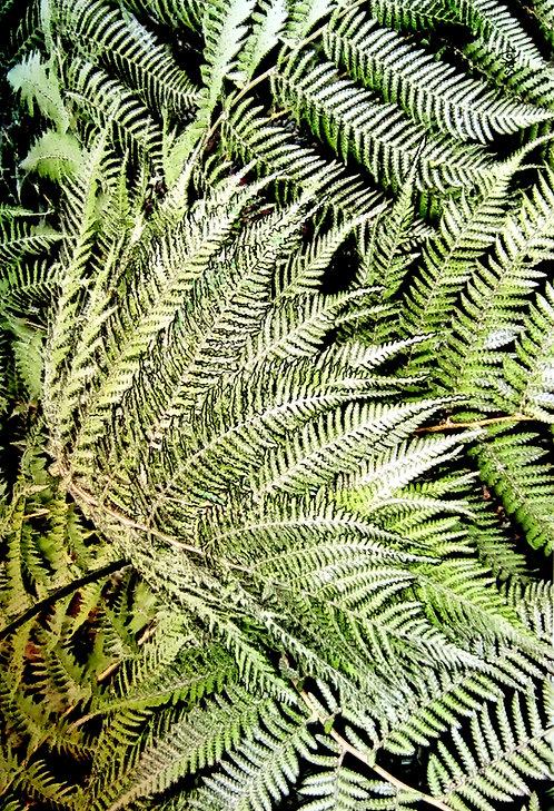 Fine Ferns - LARGE
