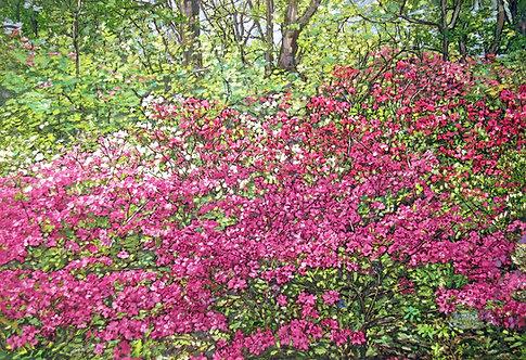 Azalea Garden in Bloom - LARGE