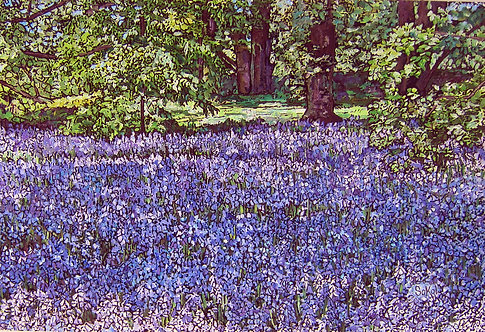Field of Bluebells - SMALL