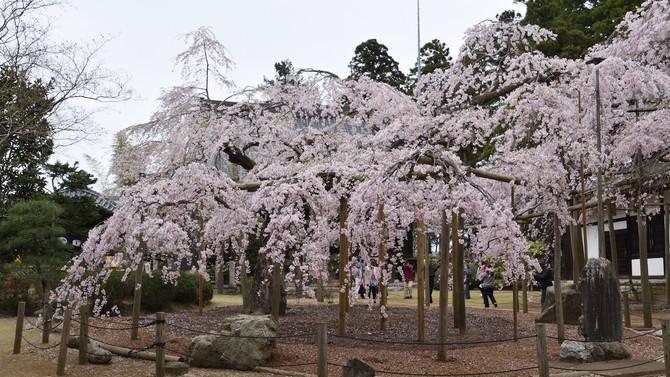 今週末はお花見日和!水戸で会っておきたい定番の2つの桜