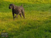 German Pointer from front