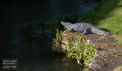 Crocodile steel wire sculpture