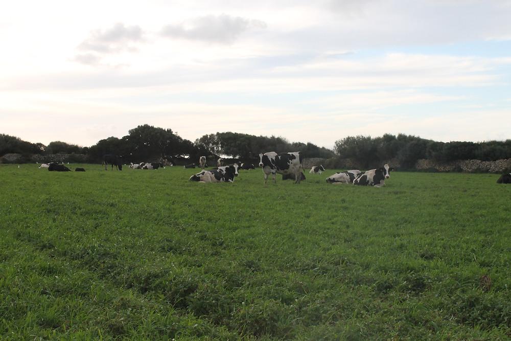 Son Caravinya - Vacas pastando en el campo