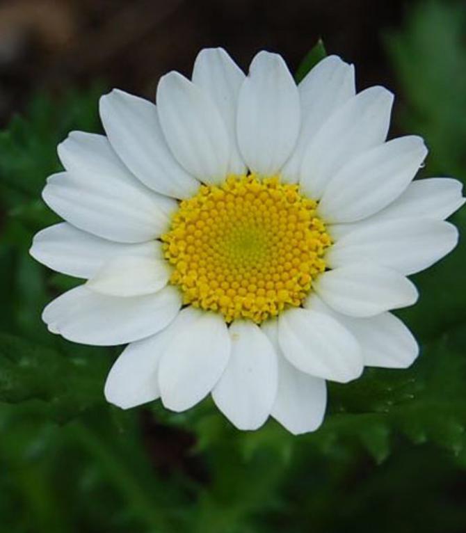 ノースポールという花