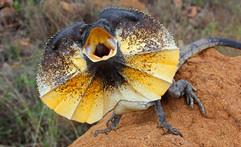 frilled-lizard-aggressive-hiss-820x499 (