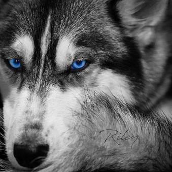 #flashmediacreations #coimbatore #husky