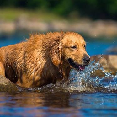 #golden #retriever #water #river #swim #