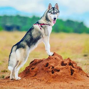 #Huskey #dogsofinstagram #riley #rampras