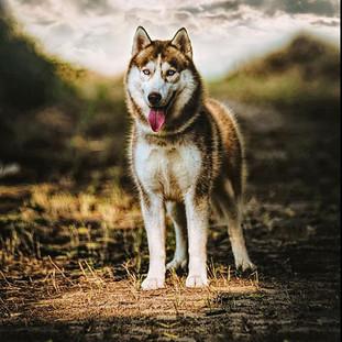 #husky #photography #siberianhusky #sibe