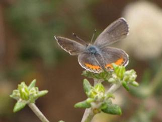 el segundo blue butterfly - stonebird cr