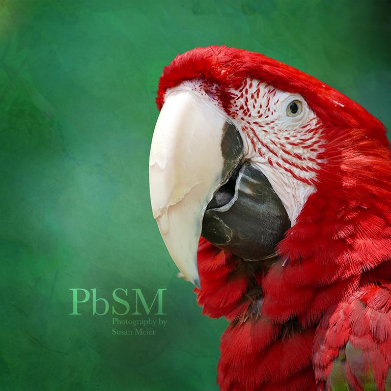 Festival Parrot