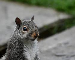 Grey Squirrel on feeder