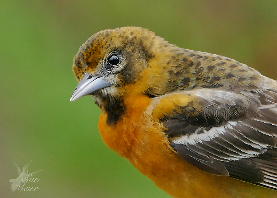 Female Oriole - 2019 - 2