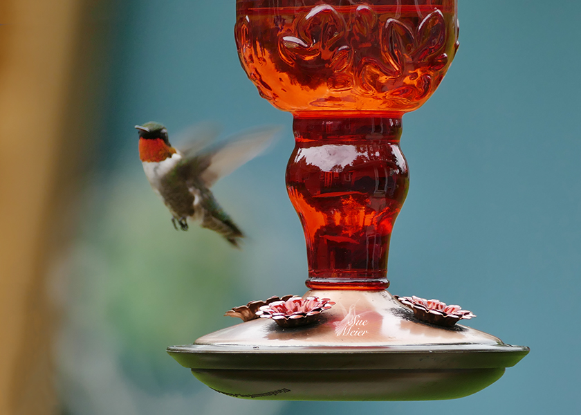 Male Hummingbird