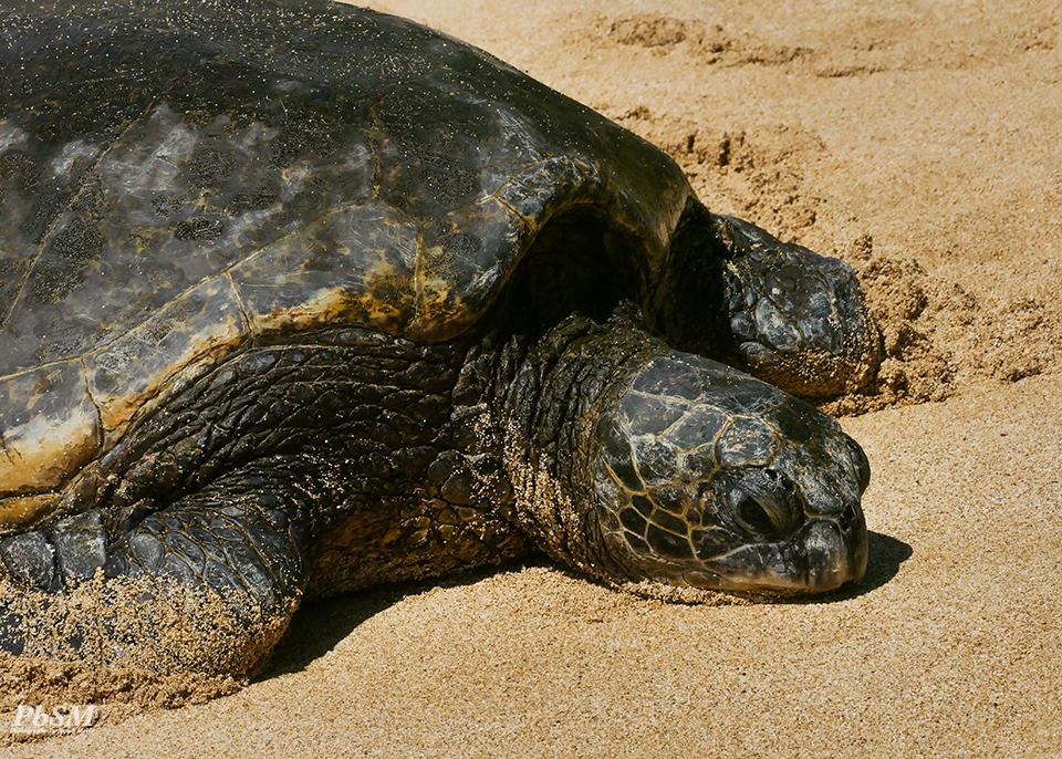 Maui Sea Turtle(s)