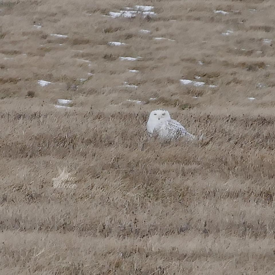 Snowy Owl in Batavia, NY.